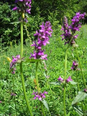 Траві для лечения нефроптоза почек
