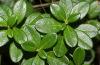 Листья брусники следует собирать на экологически чистой территории