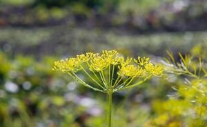 Семена укропа - отличное лекарства для болезней пищеварительной системы