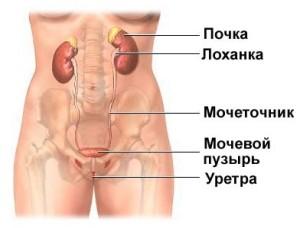 Строение женского мочевого пузыря