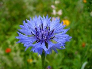 Цветы василька не рекомендуется употреблять беременным