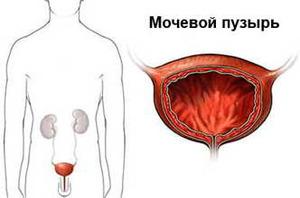Мочевой пузырь выполняет функцию накопления мочи
