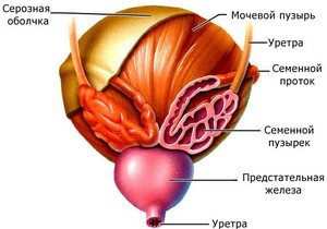 строение мочевыделительной системы человека
