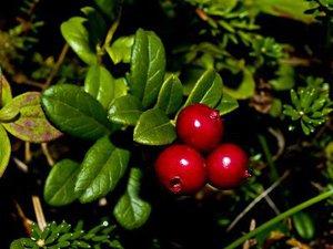 Основным компонентом Бруснивера являются листья брусники
