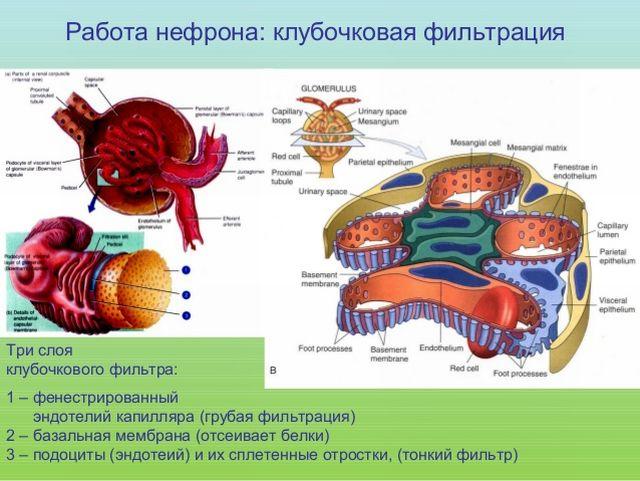 Скорость клубочковой фильтрации, как способ оценки состояния почек